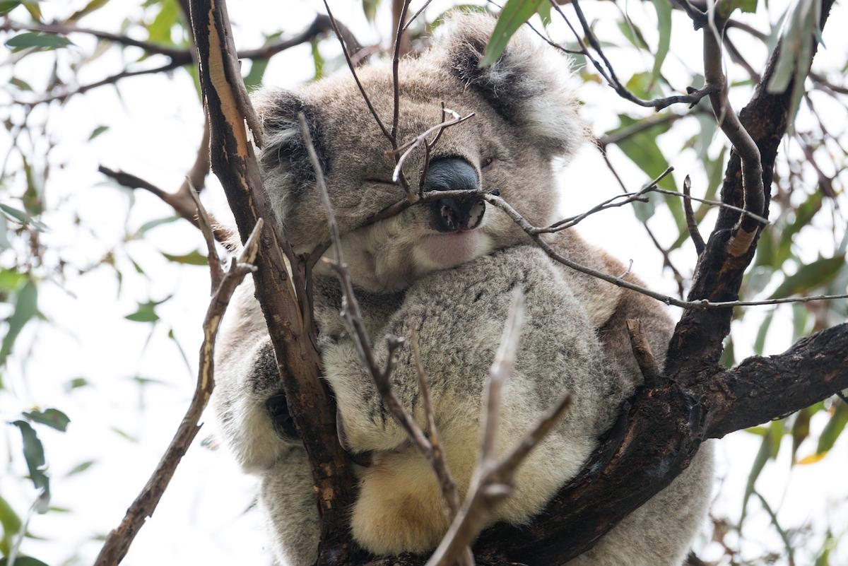 Wir helfen den Koalas